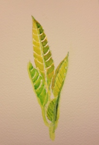 Watercolor Study - Avocado tree new growth 4