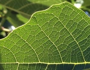 Fig Leaf @ Aunt Mary's