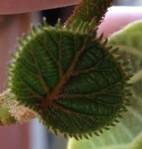 Photograph - Baby Kiwi Leaf