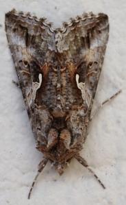 Digital Photo - Moth