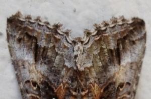 Digital Photo - Moth Wings