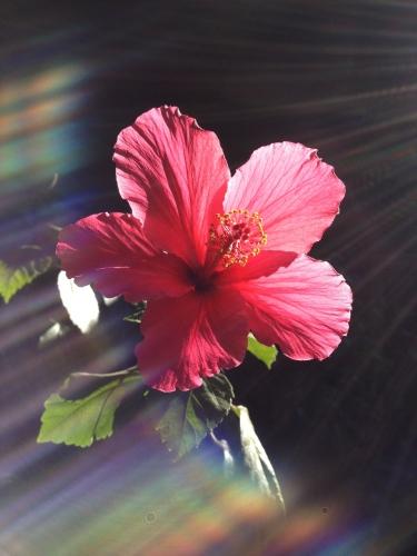 Digital Photo: Rainbow flower (lens flare)