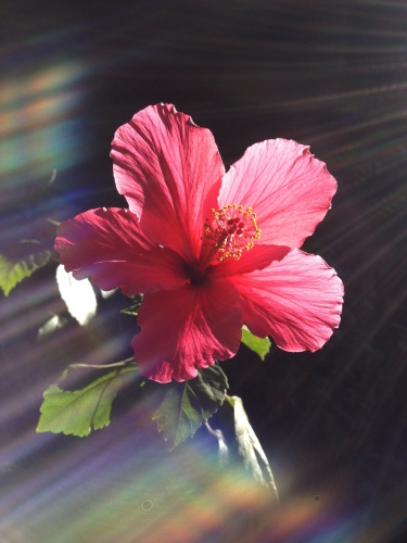 Digital Photo: Rainbow flower (lens flare)