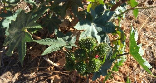 Digital Photo: Mystery Leaf - 9-pointed leaf and bramble