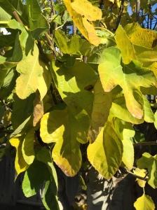 Digital Photo: Fall Fig Leaves