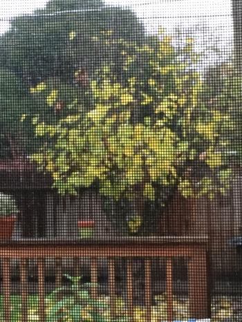 Digital Photo: Screened Fig Tree
