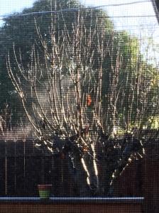 Digital Photo: Screened Fig Tree with One Leaf