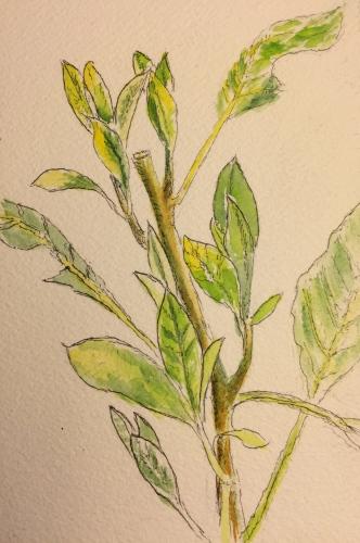 Watercolor: Re-sketch of Arthur, Pet Avocado Tree