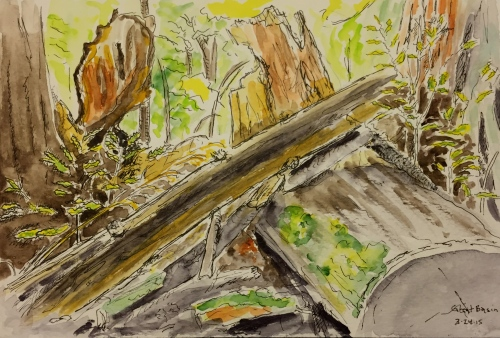 Watercolor Pen and Ink: Redwood Trees at Great Basin State Park