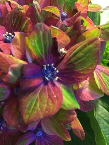 Photograph: Hydrangea Flowerlet