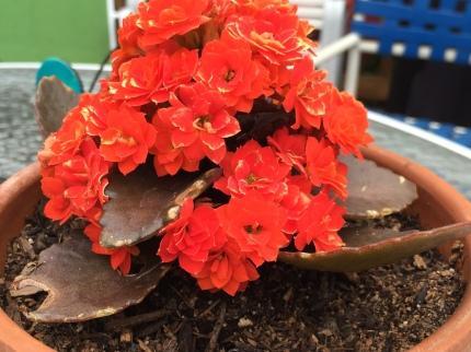 Photograph: Orange Succulent, Closeup