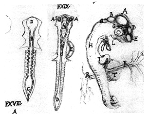 Diagram: Three Chick Embryos circa 1673