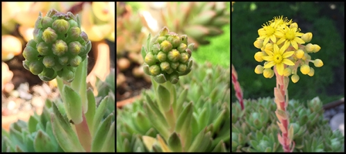 Photograph: Tryptic of Developing Flower