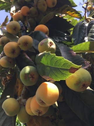 Photograph: Fruit from the Nespoli Tree
