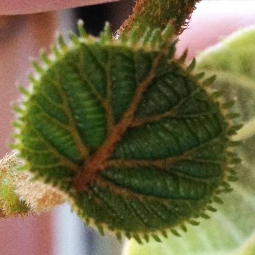 Photograph: Kiwi Leaf Closeup