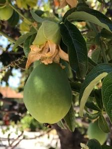 Photograph: Mystery Fruit