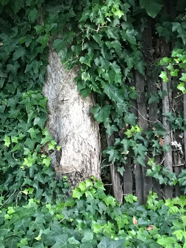 Photograph: Tree Hiding in the Bushes 052617