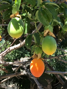 Photograph: Passion Fruit in Stages of Ripeness 061317