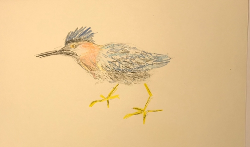 Sketch: Colored Pencil Sketch - Green Heron with Ruffled Feathers
