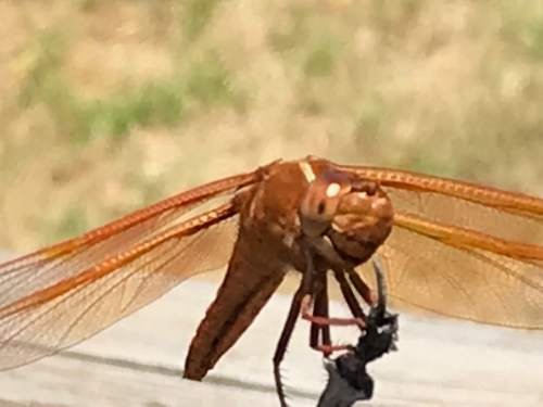 Photography: Back Yard Photography - Dragonfly Mugging for the Camera