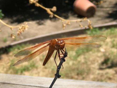 Photography: Back Yard Photography - Hummingbird-sized Dragonfly