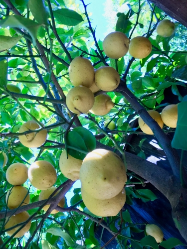 Photography: Back Yard Photography - Rejuvenated Lemon Tree