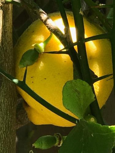 Photography: Back Yard Photography - Stalking the Wild Lemon