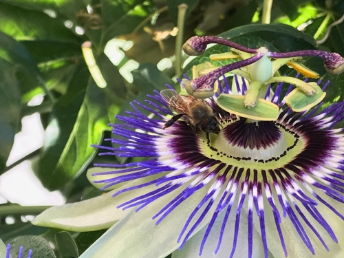 Photography: Back Yard Photography - This is How a Bee Approaches a Passionfruit Flower