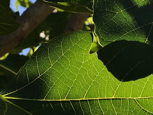 Photography: Back Yard Photography - Fig Leaf Overlap