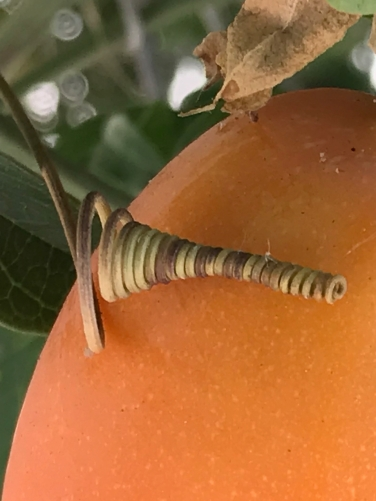 Photography: Back Yard Photography - Tendril on a Ripe Passionfruit