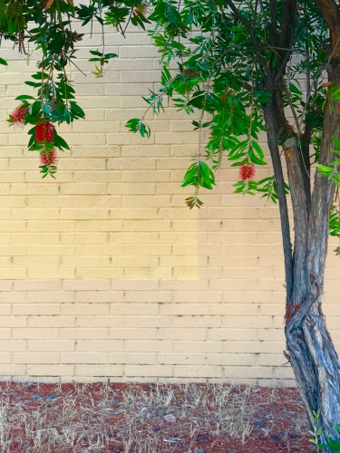 Photography: Street Photography - Bottlebrush Tree and Yellow Brick Background