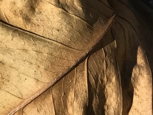 Photography: Back Yard Photography - Old, Wrinkled Leaf