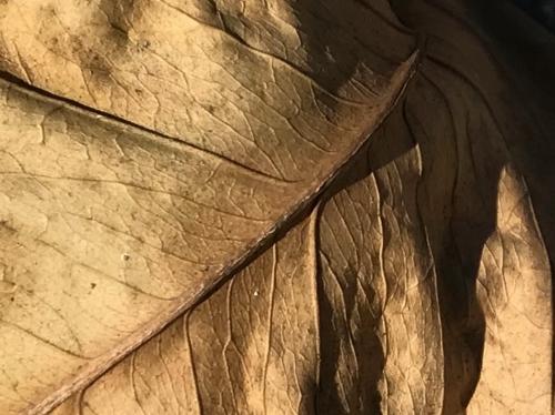 Photography: Back Yard Photography - Old, Wrinkled Leaf
