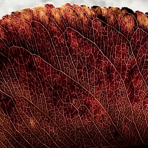 Photography: Backyard Photography - Edge of Veiny Leaf