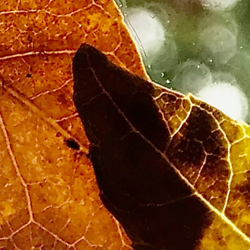 Photography: Back Yard Photography - Overlapping Leaves