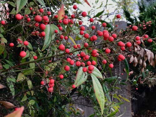 Photography: Back Yard Photography - Berries