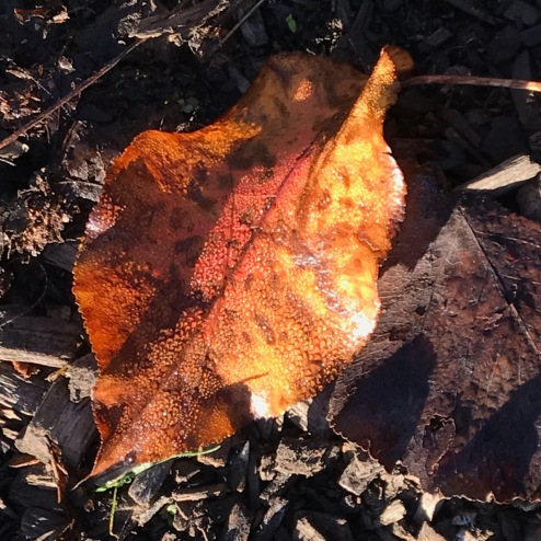 Photography: Back Yard Photography - Fallen Leaf with Early Morning Dew
